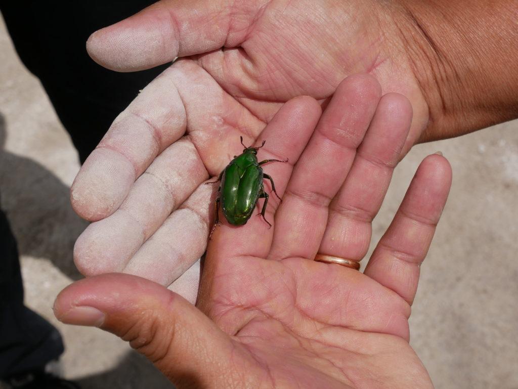 Gunung Sibayak: grüner Käfer