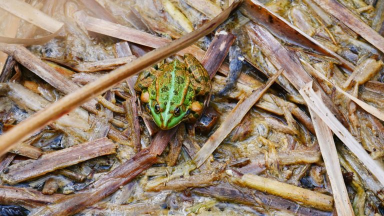 Frosch an den oberen Seen