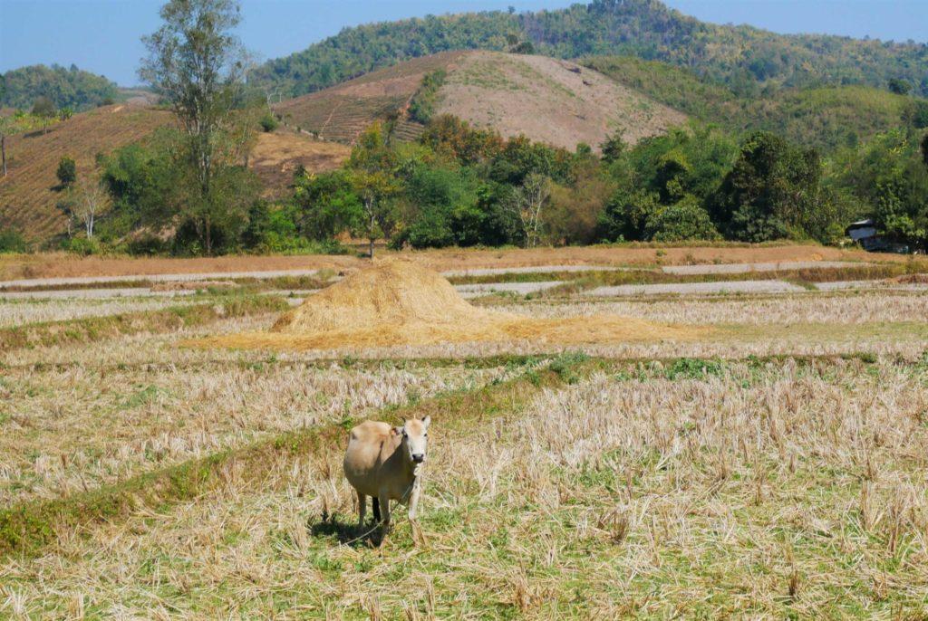 Trekking Chiang Rai: Felder