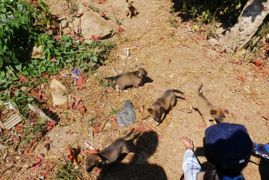 Trekking Chiang Rai: Hundewelpen