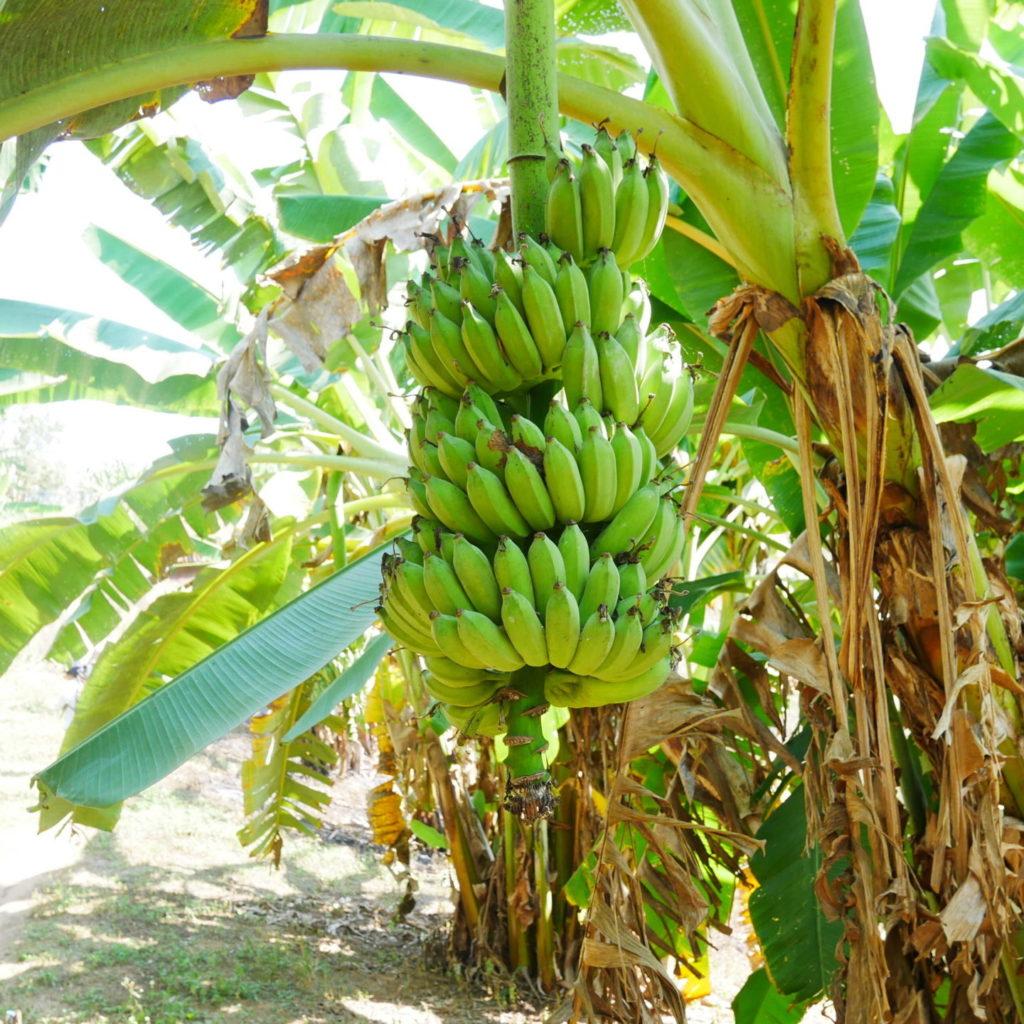 Trekking Chiang Rai: Bananenstauden